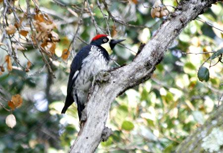 1207-Acorn Woodpecker 01-450