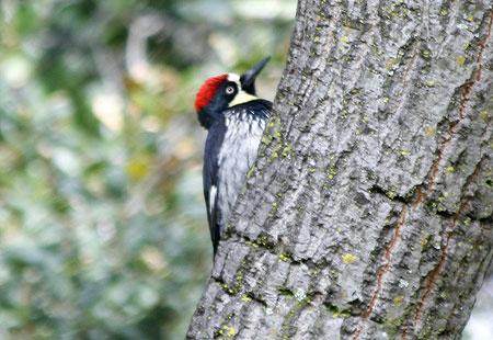 1207-Acorn Woodpecker 02-450