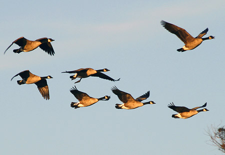 1207-Canadageese 02-450