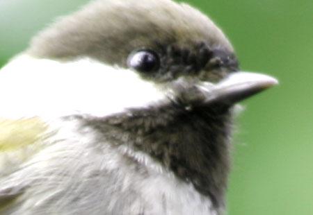 1207-Chestnut Chick 02A-450