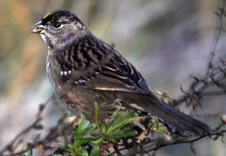 1207-Goldc Sparrow 01A-450