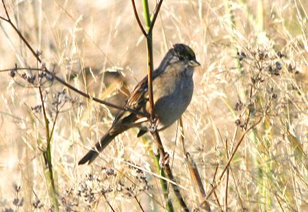 1207-Goldc Sparrow 02-450