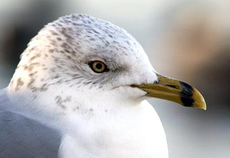 1207-Ring-Billed Gull-450