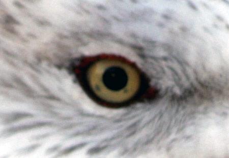 1207-Ring-Billed Gull-Eye-450