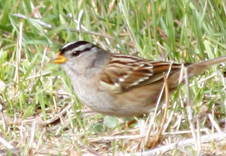 1207-Sparrow 01A-450