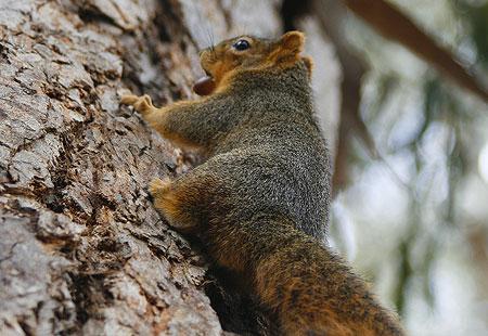 1207-Squirrel 01-450