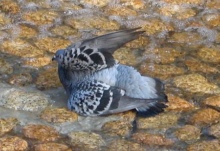 1207-Asukayama-Pigeon-02
