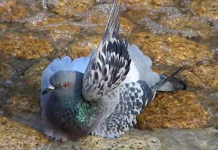 1207-Asukayama-Pigeon-03
