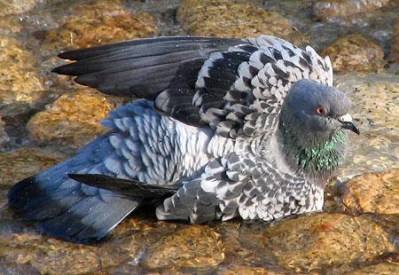 1207-Asukayama-Pigeon-04