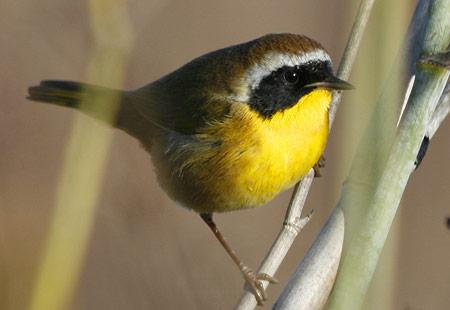 1207-Common Yellowthroat 01-450
