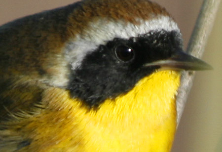 1207-Common Yellowthroat 01A-450