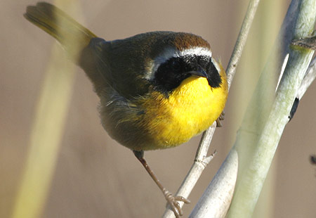 1207-Common Yellowthroat 02-450