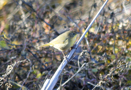 1207-Common Yellowthroat 03-450
