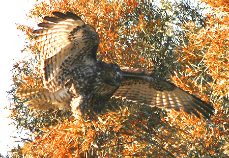1207-Red-Tailed Hawk 02-450