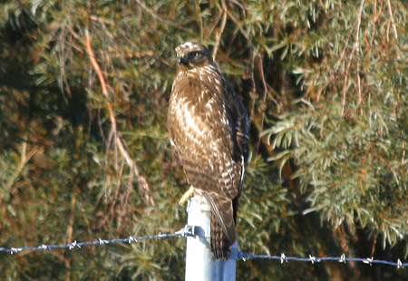 1207-Red-Tailed Hawk 06-450