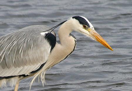 0208-Grey Heron 02-450
