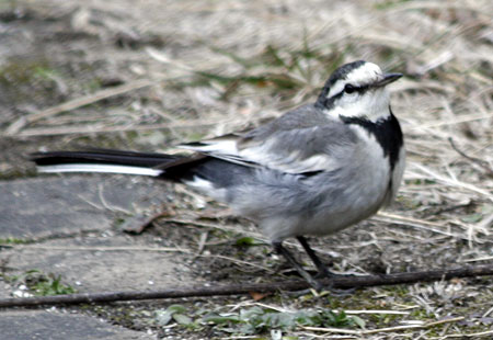 0208-White Wagtail 01-450