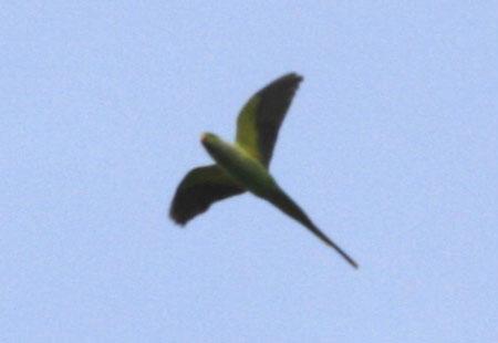 0308-Rose-Ringed Parakeet-450