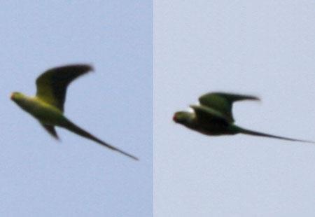 0308-Rose-Ringed Parakeet2-450